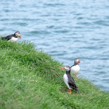 Puffins in Island | © individualicious