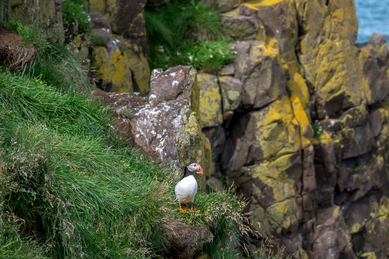 Puffins in Island   © individualicious