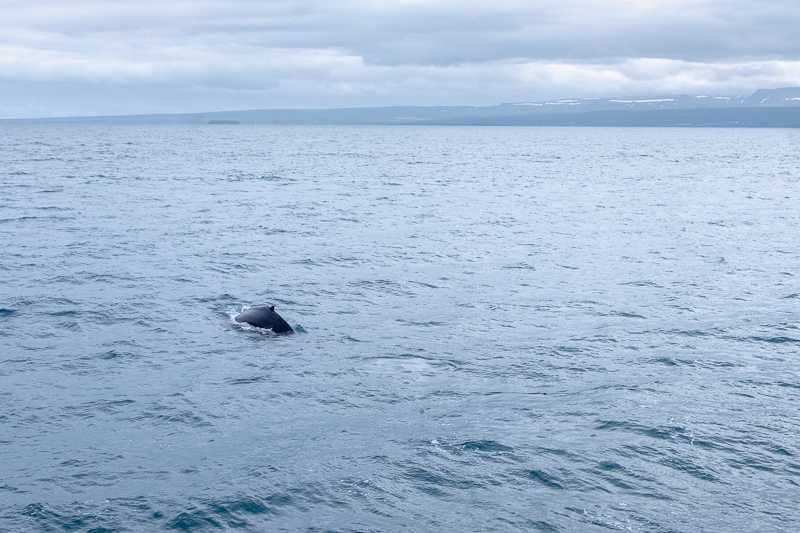 Whale Watching Husavik | © individualicious